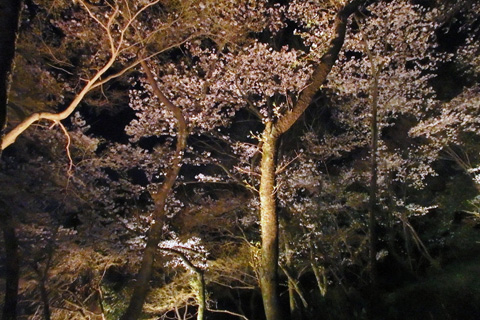 2016-4-2yozakura04-2.jpg