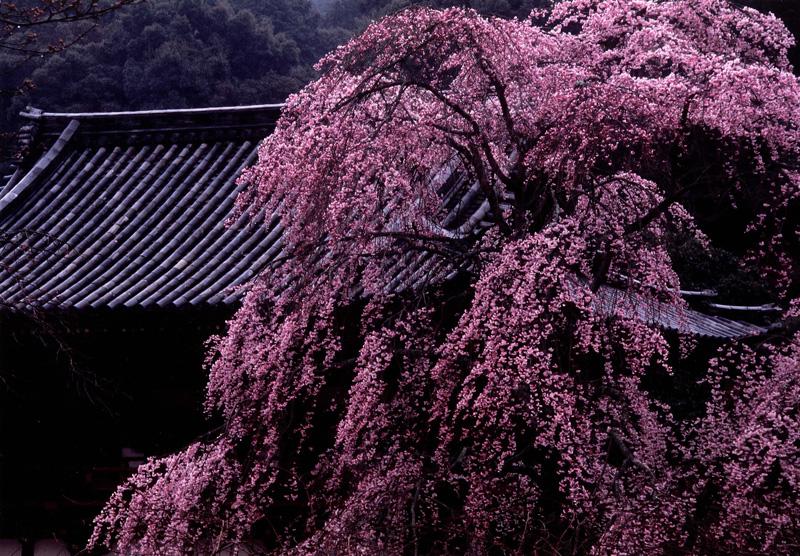 グルメ杵屋賞 「門前のしだれ桜」天野山金剛寺