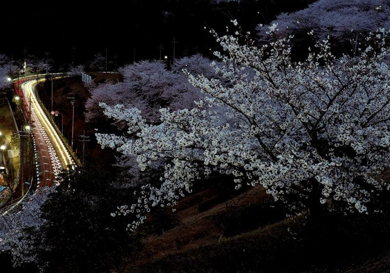 大阪府知事賞 「桜暮景」河内長野市美加の台