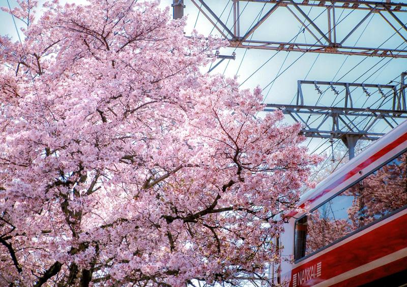 南海電気鉄道賞 「河内長野 春爛漫」河内長野駅横の踏切