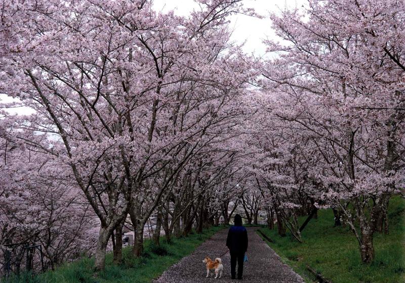 天野酒賞 「桜の小径」河内長野市東片添町