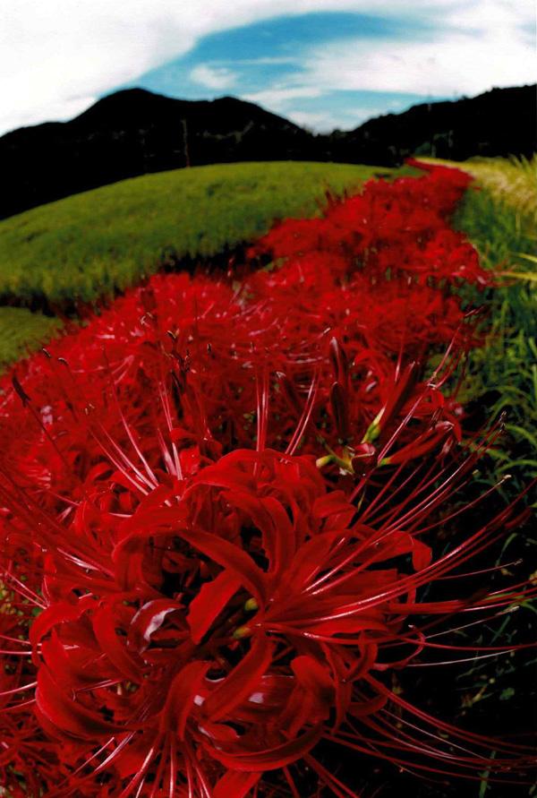 花の文化園賞 「ひがん花の行列」河内長野市岩瀬
