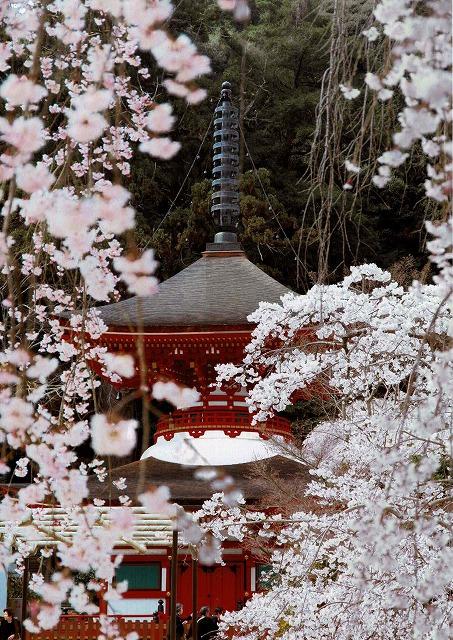グランプリ 「春爛漫」天野山 金剛寺