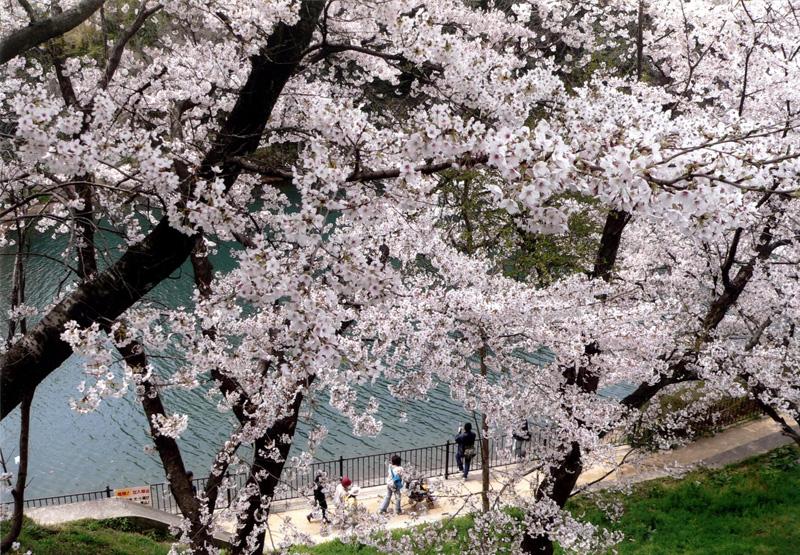 ノバティながの会長賞 「桜満開」寺ヶ池公園