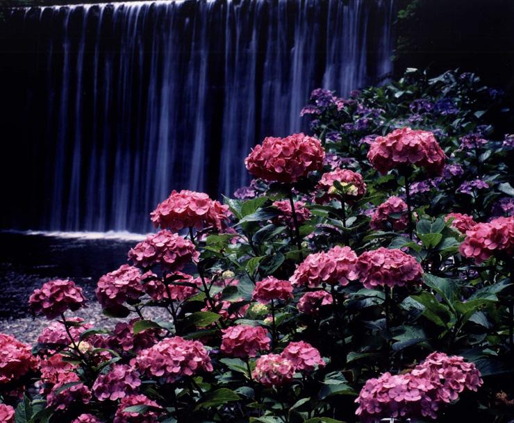 季節賞(夏) 「水辺に咲く」滝畑