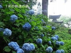 紫陽花(7月)